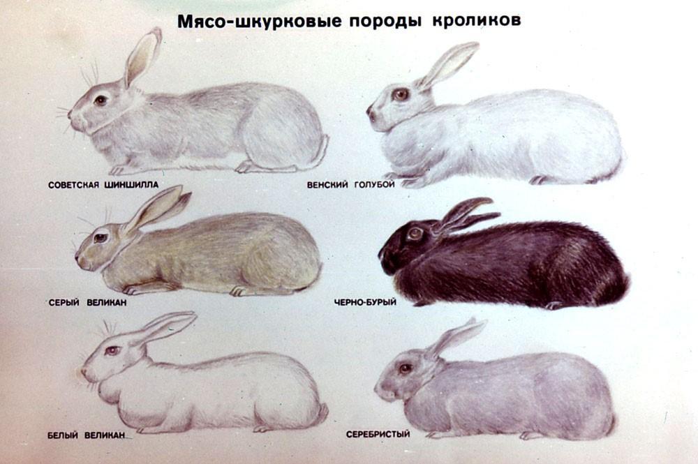 Мясо-шкурные породы кроликов